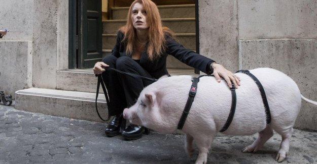 Mr Brambilla con un cerdo delante de Montecitorio: Una ley contra el abuso
