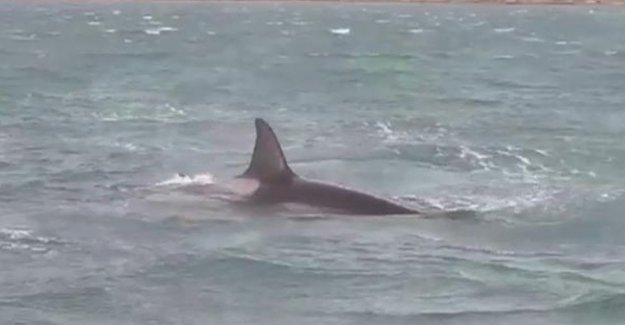 Para el extraordinario amor de una madre ballenas asesinas ya no dejar que el puerto de Génova