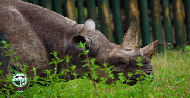 Tanzania, está muerto Fausta: el rinoceronte del anciano del mundo