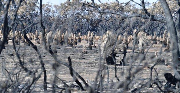 Australia, Wwf: 8 mil koalas dispersos en los incendios, los muertos 480 millones de animales