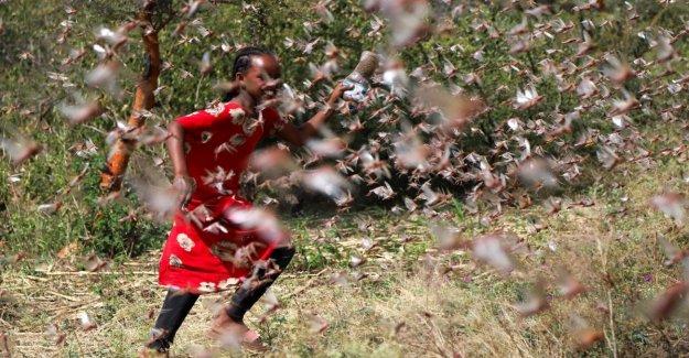 Las langostas invaden el Cuerno de África. En riesgo la agricultura y el tráfico aéreo