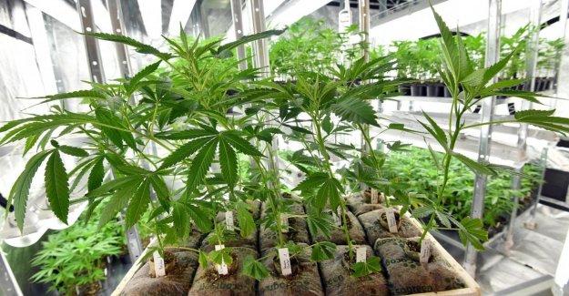 Obtener el cannabis en la mesa, de las cookies para el aceite de oliva