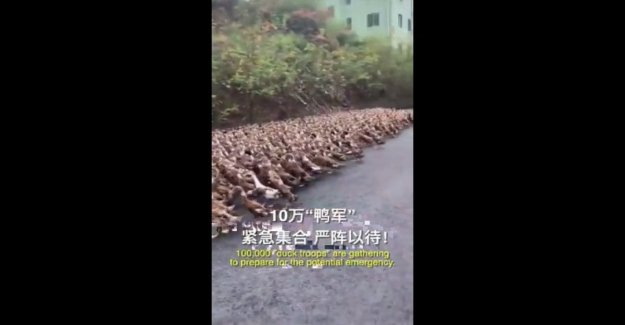China, un ejército de patos contra la langosta