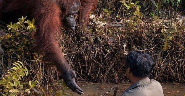 Dame tu mano, la foto de los orangutanes de Borneo que se acerca al hombre