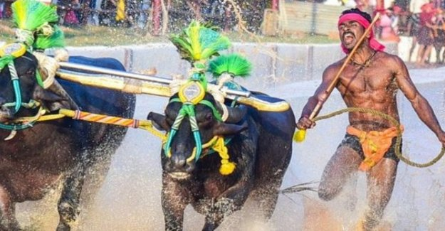 La India, Srinivas Gowda: el joven trabajador que corre con los búfalos tan rápido como Perno