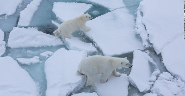 Los osos polares, el aumento de canibalismo. Hambre a causa del cambio climático