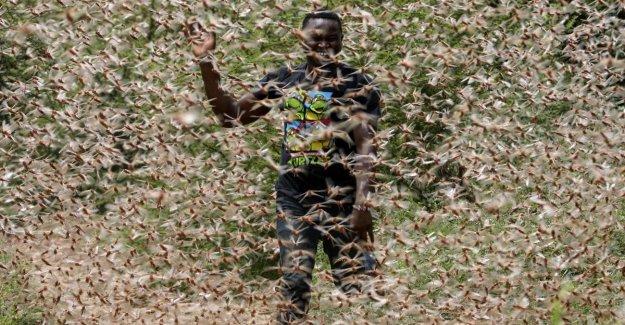 Parece que el apocalipsis: los ocho fotos impactantes de la invasión de langostas en África