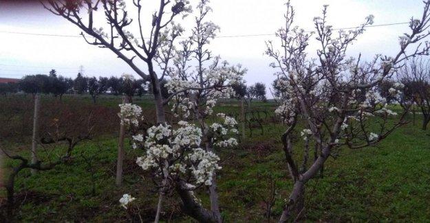 Puglia, los días están contados para el inusualmente caliente: la llegada de las heladas. Alarma de Coldiretti: Para perder el fruto de la primavera