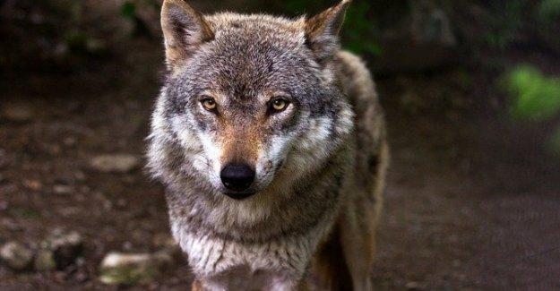 Arvo, el lobo guardado y muerto en la Misma
