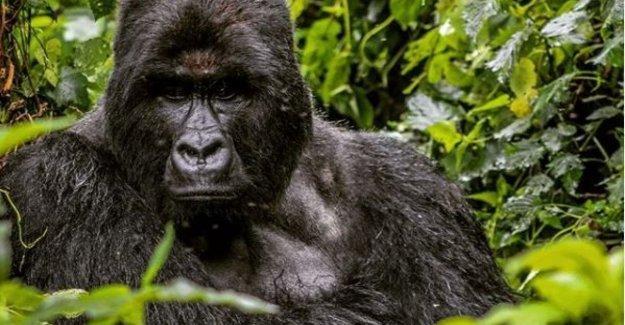 Coronavirus, África parques cerrados: los Gorilas de montaña en peligro.