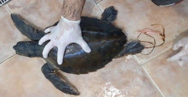 Salento, guarda de la tortuga marina que se había tragado un balón terminó en el mar. La apelación de Sos fauna