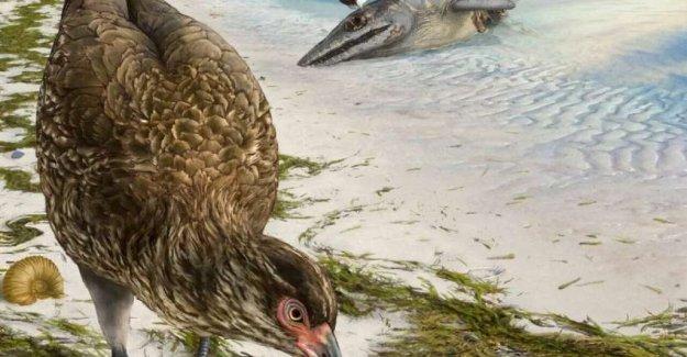Se encuentra en Bélgica, el fósil de la Wonderchicken, es la más antigua de las aves modernas