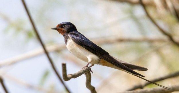 Vienen las golondrinas, vencejos y la casa martins: pero los nidos en la ciudad están en riesgo