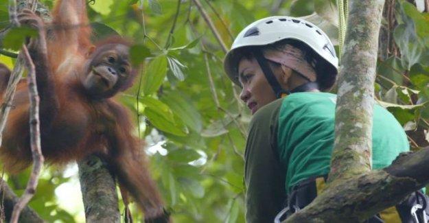 Cumplir con el bebé orangután de aprendizaje para trepar a los árboles