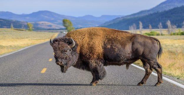 Mujer lesionada por el bisonte en el Parque Nacional de Yellowstone en el segundo día después de su reapertura
