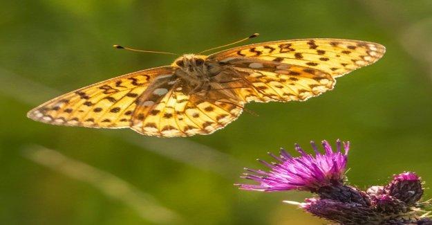 Fotógrafo capta impresionantes imágenes de peligro de extinción de la mariposa volando de flor