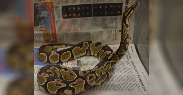 Hunter en Hawaii captura de python; los funcionarios no pueden explicar cómo se tiene en la isla