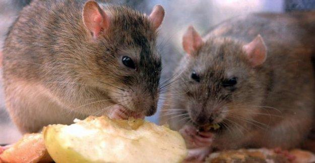 Las ratas próspera en perfectas condiciones de bloqueo de seguridad