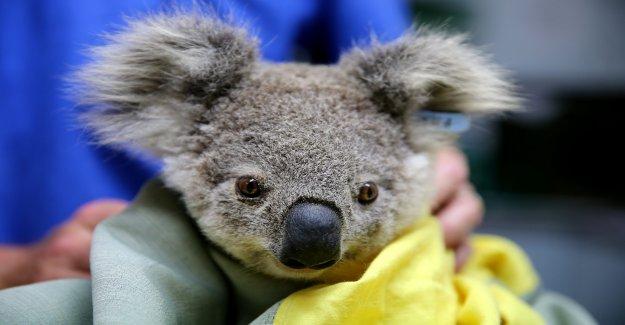 Los Koalas podría extinguirse en Australia, Nueva Gales del Sur, en 2050, advierte el informe de la