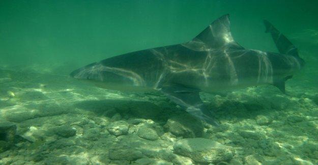 Nadador de las capturas de tiburones con las manos desnudas en Delaware playa
