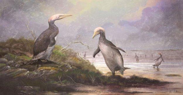 Nueva Zelanda 'monstruo de los pingüinos' había Hemisferio Norte dobles, dicen los investigadores