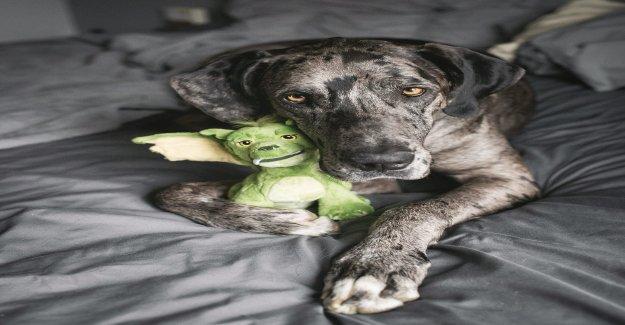 Perro se hace viral después de las imágenes que muestran es inseparable de peluche de juguete