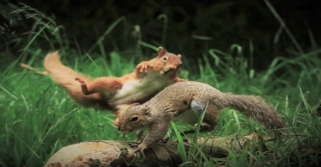 Ardilla roja lanza en ardilla gris en viral la foto