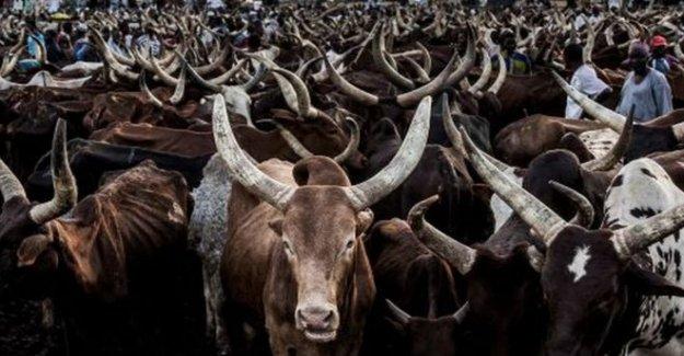 Arrepentido de Nigeria bandidos ofrecieron las vacas para AK-47