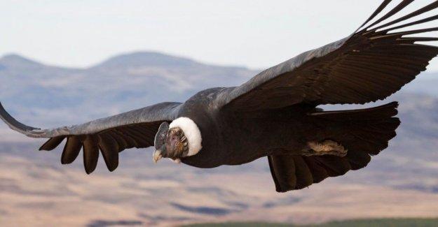 Cóndores andinos puede volar a más de 100 millas sin batir sus alas una vez, los investigadores revelan