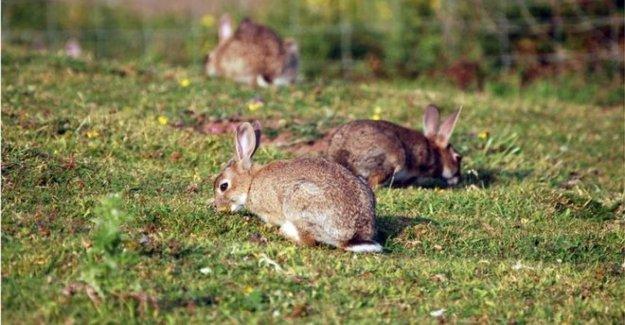 Contagioso virus mortal para los conejos se encuentran en NI