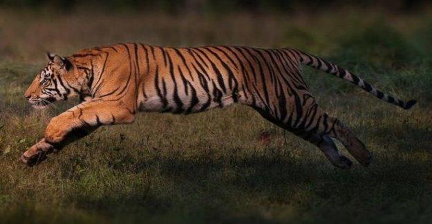 En peligro de extinción de los tigres de hacer un 'notable' regreso