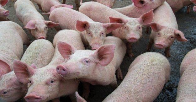 Enganche los pulmones hasta dormir cerdos podría impulsar el éxito de los trasplantes, la investigación dice