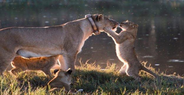 Fotógrafo capta la increíble imagen de un cachorro de león que aparece a besar a su madre en su nariz