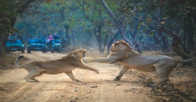 Increíble foto muestra 'épico enfrentamiento' entre leona y el león