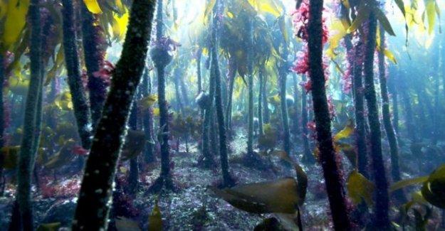 Kelp encontrado fuera de Escocia se remonta a 16.000 años