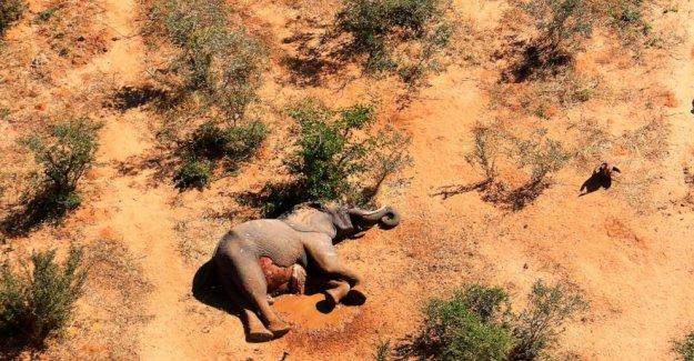 Lo que mató a cientos de elefantes en Botswana? Aún se desconoce