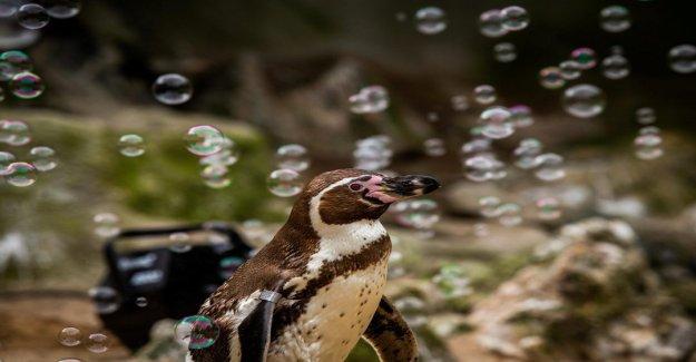 Los pingüinos están siendo entretenidos con la burbuja de la máquina debido a la pandemia de coronavirus