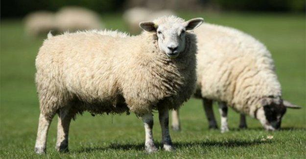 Paseadores de perros, advirtió después de que el agricultor pierde 14 ovejas