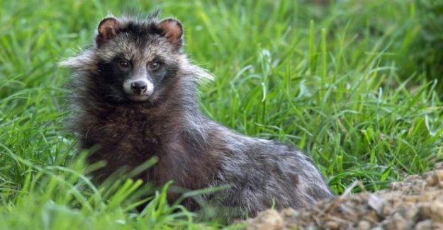 Perro de mapache de captura solicitada por el ministro de medio ambiente