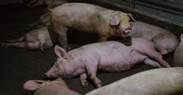Potencialmente graves de la gripe porcina identificados en China no amenaza inminente: Expertos