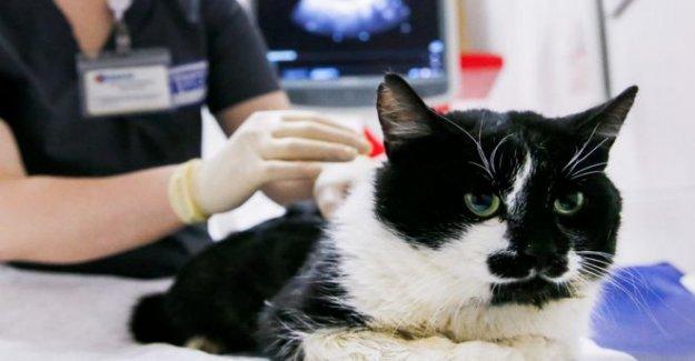 Reino unido gato que encontró a tener coronavirus