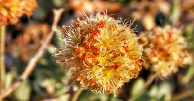 AP Exclusivo: Raras flores silvestres podría poner en peligro la mina de litio