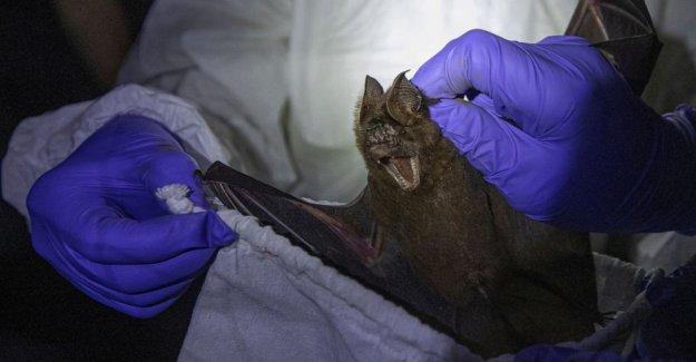 AP FOTOS: los científicos Tailandeses captura de los murciélagos para rastrear virus orígenes