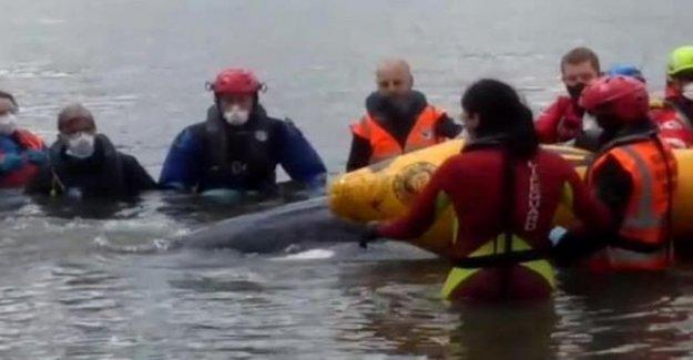Ballena Minke en peligro de quedar atrapado es rescatado