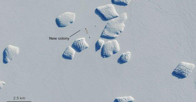 Caca scoop: imágenes de Satélite revelan pingüino Antártico persigue