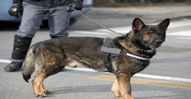 Coronavirus que los perros rastreadores desplegado en el Aeropuerto de Dubai, con un 91% de precisión: informe