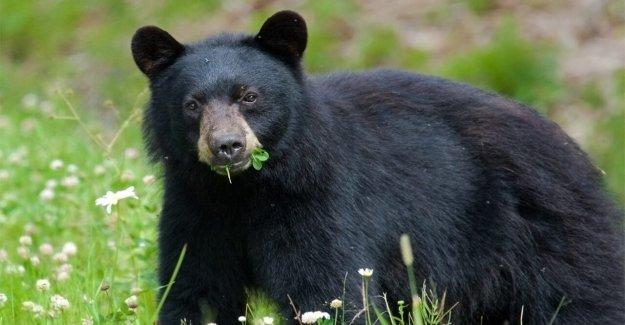 El oso que fue viral después de esnifar caminante del cabello ha sido castrado, lo que generó la indignación