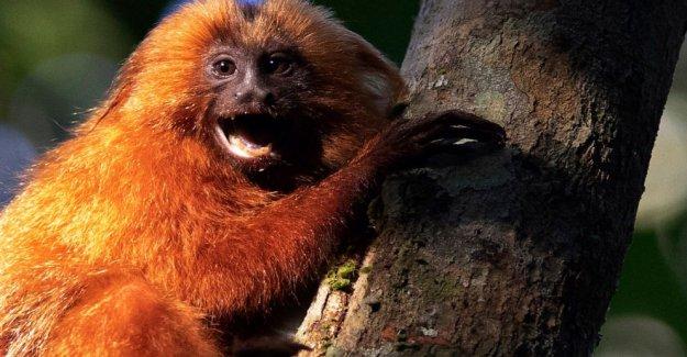En peligro de extinción Brasileño monos obtener un puente a sí mismos