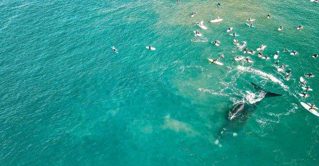 Las ballenas sorpresa surfistas Australianos en huelga drone de material de archivo