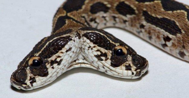 Raro, mortal Russell víbora serpiente con dos cabezas visto en la India